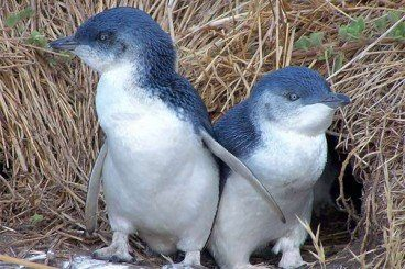 PENGUINS IN THE EVENING